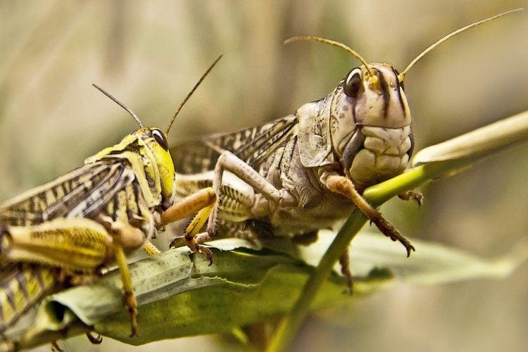 Jadalne owady. Koniki polne na naszym talerzu. Poradnik.