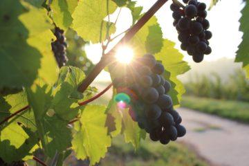 Wino zamienia się w ocet? Jest na to sposób