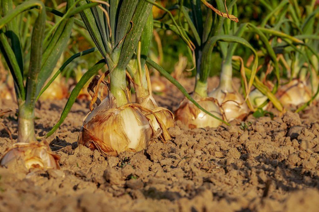 Skarby natury. Odkryj moc cebuli