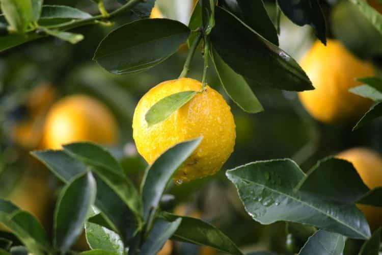 Świeża cytryna prosto z drzewa to wyśmienity dodatek do wielu przepisów kulinarnych