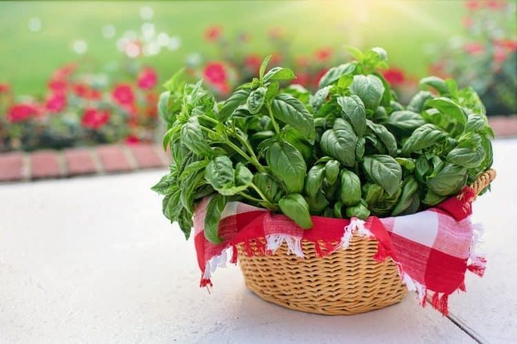 Bazylia. Właściwości zdrowotne i jako aromatyczna przyprawa
