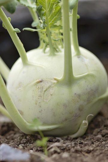 Kalarepa to warzywo zdrowe i smaczne